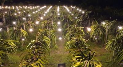 Hadirnya Listrik PLN, Omzet Petani Buah Naga di Pulau Seram Naik 150 Persen